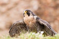 Peregrine bird Stock Image