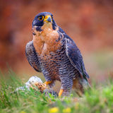 Peregrine bird Royalty Free Stock Photos