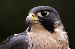Peregrine Face Stock Image