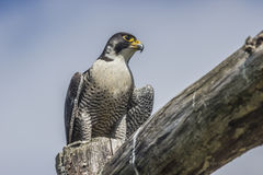 Peregrine (Falco peregrinus) Royalty Free Stock Images