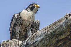 Peregrine (Falco peregrinus) Stock Photos