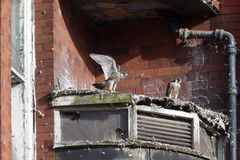 Peregrine, Falco peregrinus. Nest site Belper Mill with young,  Derbyshire, June 2014 Royalty Free Stock Photos