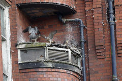 Peregrine, Falco peregrinus. Nest site Belper Mill with young,  Derbyshire, June 2014 Stock Image