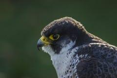 Peregrine (Falco peregrinus) Royalty Free Stock Photography
