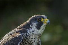 Peregrine (Falco peregrinus) Stock Images