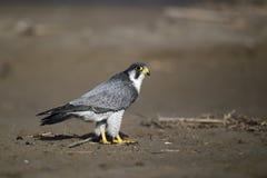 Peregrine, Falco peregrinus Royalty Free Stock Images