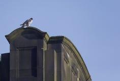 Peregrine, Falco peregrinus Royalty Free Stock Image