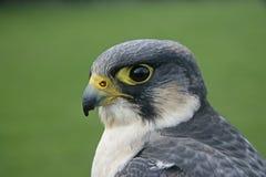 Peregrine, Falco peregrinus Stock Image