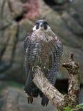 Peregrine Falco van de Valk peregrinus royalty-vrije stock foto's