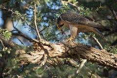 Peregrine_falcon fotografie stock