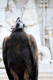 Peregrine Falcon Stock Photo