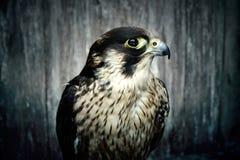 Peregrine Falcon Imagenes de archivo