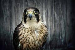 Peregrine Falcon Fotografía de archivo