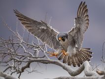 Free Peregrine Falcon Royalty Free Stock Photos - 113068958