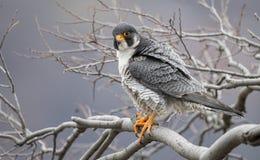 Peregrine Falcon royalty-vrije stock foto's
