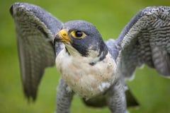 Peregrine Falcon fotos de archivo