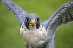 Peregrine Falcon foto de archivo