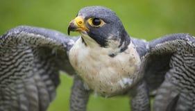 Peregrine Falcon imagen de archivo
