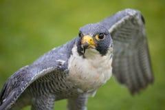 Peregrine Falcon fotos de archivo libres de regalías