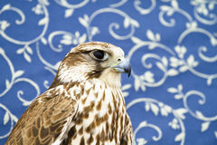 Peregrine, falcon Royalty Free Stock Image
