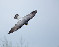 Free Peregrine Falcon Stock Images - 14212294