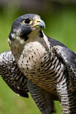 Peregrine Falcon. Horizontal Composition of Adult Peregrine Falcan Stock Image