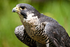 Peregrine Falcon. Closeup View of Adult Peregrine Falcon Stock Photography