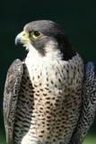 Peregrine Falcon Stock Image