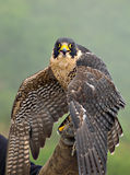 Peregrine Falcon. Sitting on gloved hand of handler Royalty Free Stock Photo