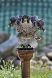 Peregrine Falcon. Is preparing to take off Royalty Free Stock Photos