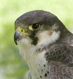 Peregrine falcon. The peregrine is renowned for its speed, reaching over 200mph in a dive Royalty Free Stock Images