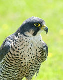 Peregrine Falcon. Close up of a Peregrine Falcon Stock Photography