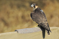 Peregrine Falcon. A trained male Peregrine Falcon with attached radio transmitter on the back Stock Images