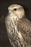 Peregrine Falcon. This superb Peregrine Falcon was captured at the Falconry Centre in Hagley, UK Stock Photos