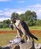 Peregrine Falcon. Stock Photography