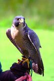 Peregrine Falcon. Ready to give a flying demonstration Royalty Free Stock Image