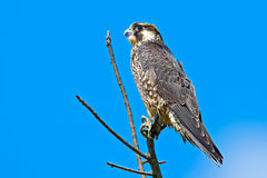 Peregrine Falcon. Young Juvenile Peregrine Falcon sitting in a tree staring Stock Images