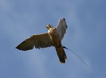 Peregrine Falcon Royalty Free Stock Photo