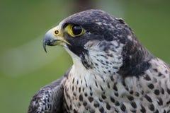 Peregrine Falcon. (Falco peregrinus Stock Photo