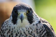 Peregrine Falcon. (Falco peregrinus Royalty Free Stock Photos