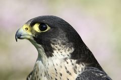 Peregrine Falcon. Portrait of a Peregrine Falcon, Netherlands Royalty Free Stock Photography