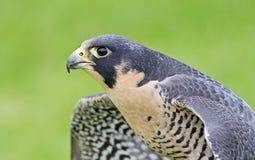 Peregrine Falcon Fotografia Stock