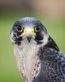 Peregrine Falcon Stock Fotografie