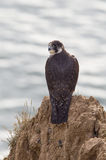 Peregrine Falcon Photographie stock
