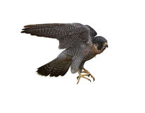 Free Peregrine Falcon Royalty Free Stock Photos - 35242588