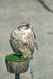 Peregrine Falcon Fotografering för Bildbyråer