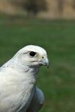 Peregrine Falcon Arkivfoton
