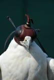 Peregrine Falcon Royaltyfri Bild