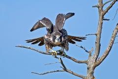 Peregrine Falcon royaltyfria bilder