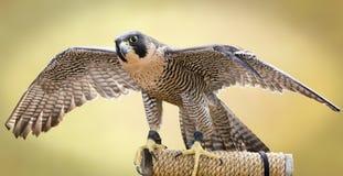 Peregrine Falcon Imagem de Stock
